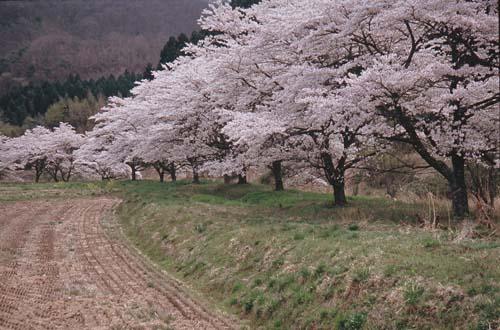 天栄の桜_0002.jpg